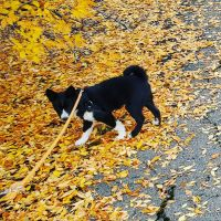 Karelian Bear Dog Puppies for sale in Bly, OR 97622, USA. price: NA
