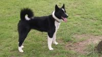 karelian bear dog dog