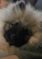 Keeshond Puppies for sale in Martin, MI 49070, USA. price: NA