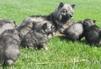 Keeshond Puppies for sale in Albert City, IA 50510, USA. price: NA