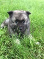 Keeshond Puppies for sale in Agoura Hills, CA, USA. price: NA