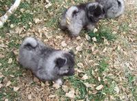 Keeshond Puppies for sale in Carlsbad, CA, USA. price: NA