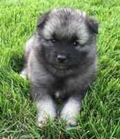 Keeshond Puppies for sale in Alma Center, WI 54611, USA. price: NA