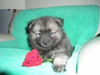 Keeshond Puppies for sale in Detroit, MI, USA. price: NA