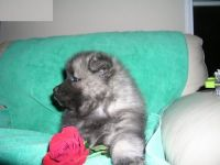Keeshond Puppies for sale in Cincinnati, OH, USA. price: NA