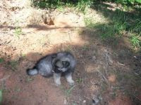 Keeshond Puppies for sale in Los Angeles, CA, USA. price: NA