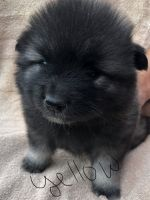 Keeshond Puppies for sale in Claremont, NH, USA. price: NA