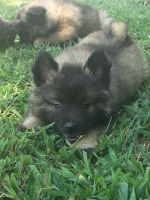 Keeshond Puppies for sale in Frederick, MD, USA. price: NA