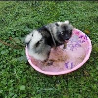 Keeshond Puppies for sale in Columbus, OH, USA. price: NA