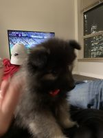 Keeshond Puppies for sale in Chicago, IL 60661, USA. price: NA