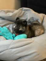 Keeshond Puppies Photos
