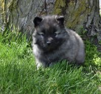 Keeshond Puppies for sale in Etna Green, IN 46524, USA. price: NA