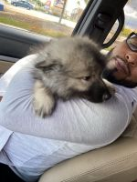 Keeshond Puppies for sale in Lansing, IL, USA. price: NA