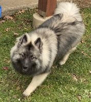 Keeshond Puppies for sale in New Richmond, OH 45157, USA. price: NA