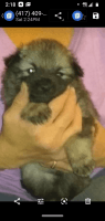 Keeshond Puppies for sale in Springfield, MO 65802, USA. price: NA