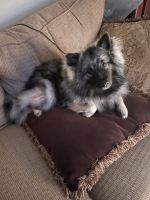 Keeshond Puppies for sale in Titusville, FL, USA. price: NA