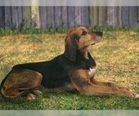 kerry beagle dog
