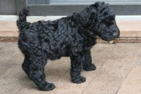Kerry Blue Terrier Puppies Photos