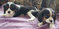 King Charles Spaniel Puppies for sale in Newaygo, MI 49337, USA. price: NA