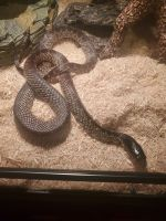Kingsnake Reptiles for sale in Worcester, MA 01603, USA. price: NA