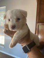 Kintamani Puppies for sale in Steele Creek, Charlotte, NC, USA. price: NA