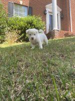 Kintamani Puppies Photos