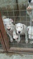 Kintamani Puppies for sale in Herndon, VA 20171, USA. price: NA