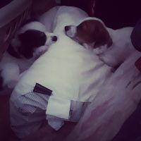 Kooikerhondje Puppies Photos