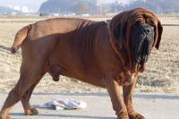 korean mastiff dog