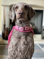 Labradoodle Puppies for sale in Hampton, GA 30228, USA. price: NA
