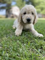 Labradoodle Puppies for sale in Glenwood, IA 51534, USA. price: NA
