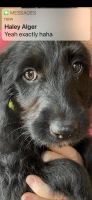Labradoodle Puppies for sale in Roanoke, VA, USA. price: NA