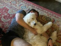 Labradoodle Puppies for sale in Austin, TX, USA. price: NA