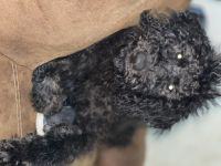 Labradoodle Puppies for sale in Tylertown, MS 39667, USA. price: NA