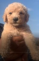 Labradoodle Puppies Photos