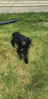 Labradoodle Puppies for sale in Ogden, UT, USA. price: NA