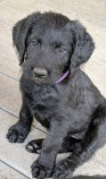 Labradoodle Puppies for sale in Lebanon, OR 97355, USA. price: NA