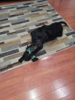 Labradoodle Puppies for sale in Tuscaloosa, AL, USA. price: NA