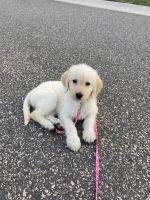 Labradoodle Puppies for sale in Woodbury, MN, USA. price: NA