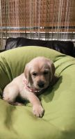 Labradoodle Puppies for sale in Sacramento, CA, USA. price: NA
