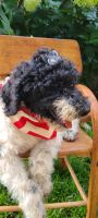 Labradoodle Puppies for sale in Huntsville, IL 62344, USA. price: NA