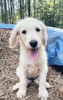 Labradoodle Puppies for sale in Newborn, GA 30056, USA. price: NA