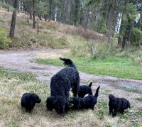 Labradoodle Puppies for sale in Colville, WA 99114, USA. price: NA