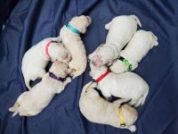 Labradoodle Puppies for sale in Orlando, FL, USA. price: NA