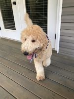 Labradoodle Puppies for sale in Sanford, NC, USA. price: NA