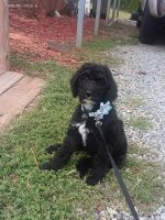 Labradoodle Puppies for sale in Lexington, NC, USA. price: NA