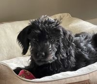 Labradoodle Puppies for sale in Mt. Juliet, TN, USA. price: NA
