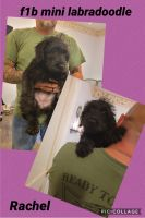 Labradoodle Puppies for sale in Perry, IA 50220, USA. price: NA