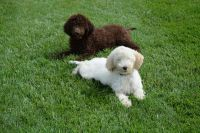 Labradoodle Puppies for sale in Parma, OH 44134, USA. price: NA