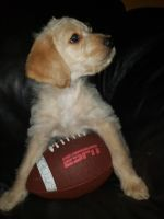 Labradoodle Puppies for sale in Spring Hill, FL, USA. price: NA